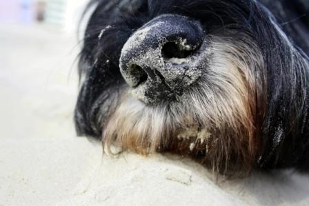 Hundeschnauze im Sand